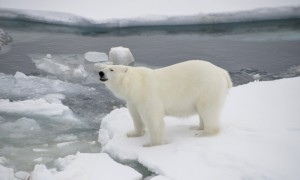 Spotting Polar Bears in the Arctic Circle