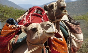 The Grandness of Camels